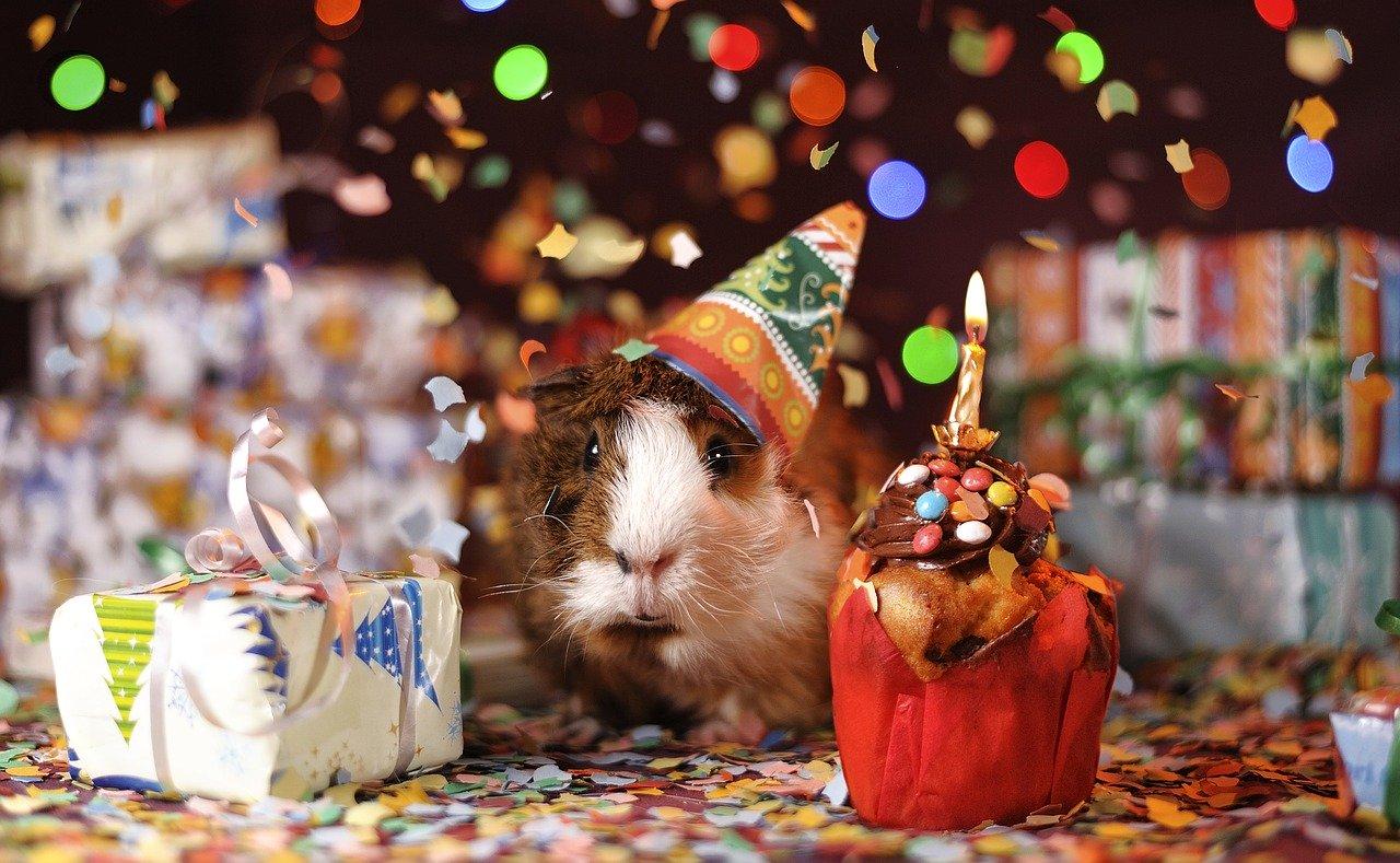 Meerschweinchen Geburtstag